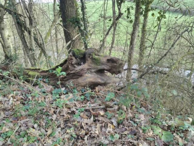 Une tête de dragon, dans un tronc d'arbre