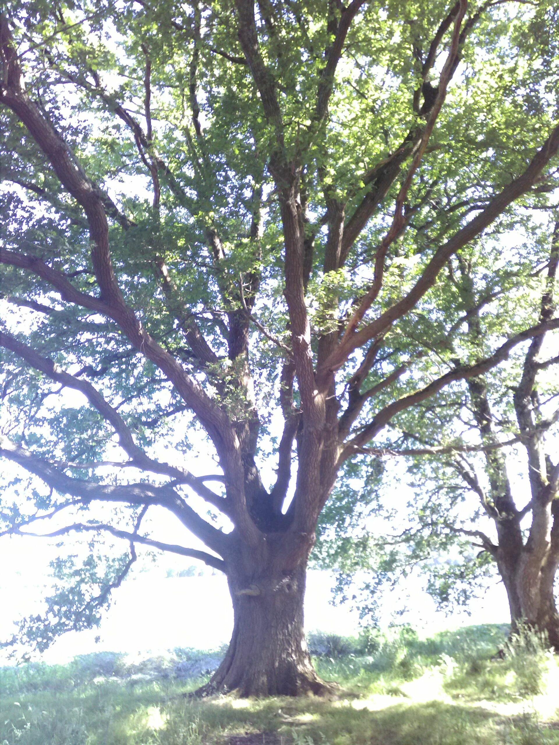 Chêne de Merlin, au lac de Vioreau