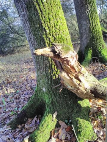 L'esprit du Pivert posé sur un tronc