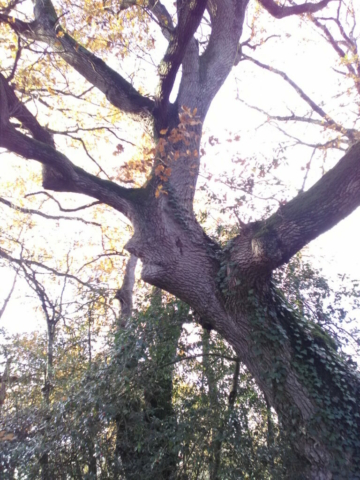 Un vieux Sage dans un chêne, au bord de l'étang de la Provostière