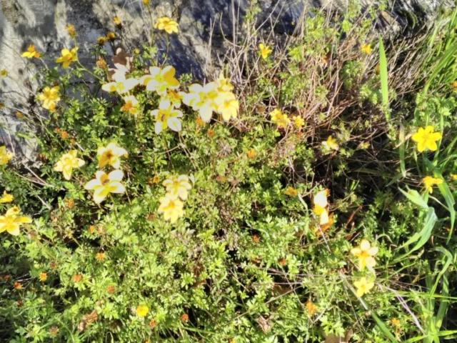 Astéracées jaunes (bidens)