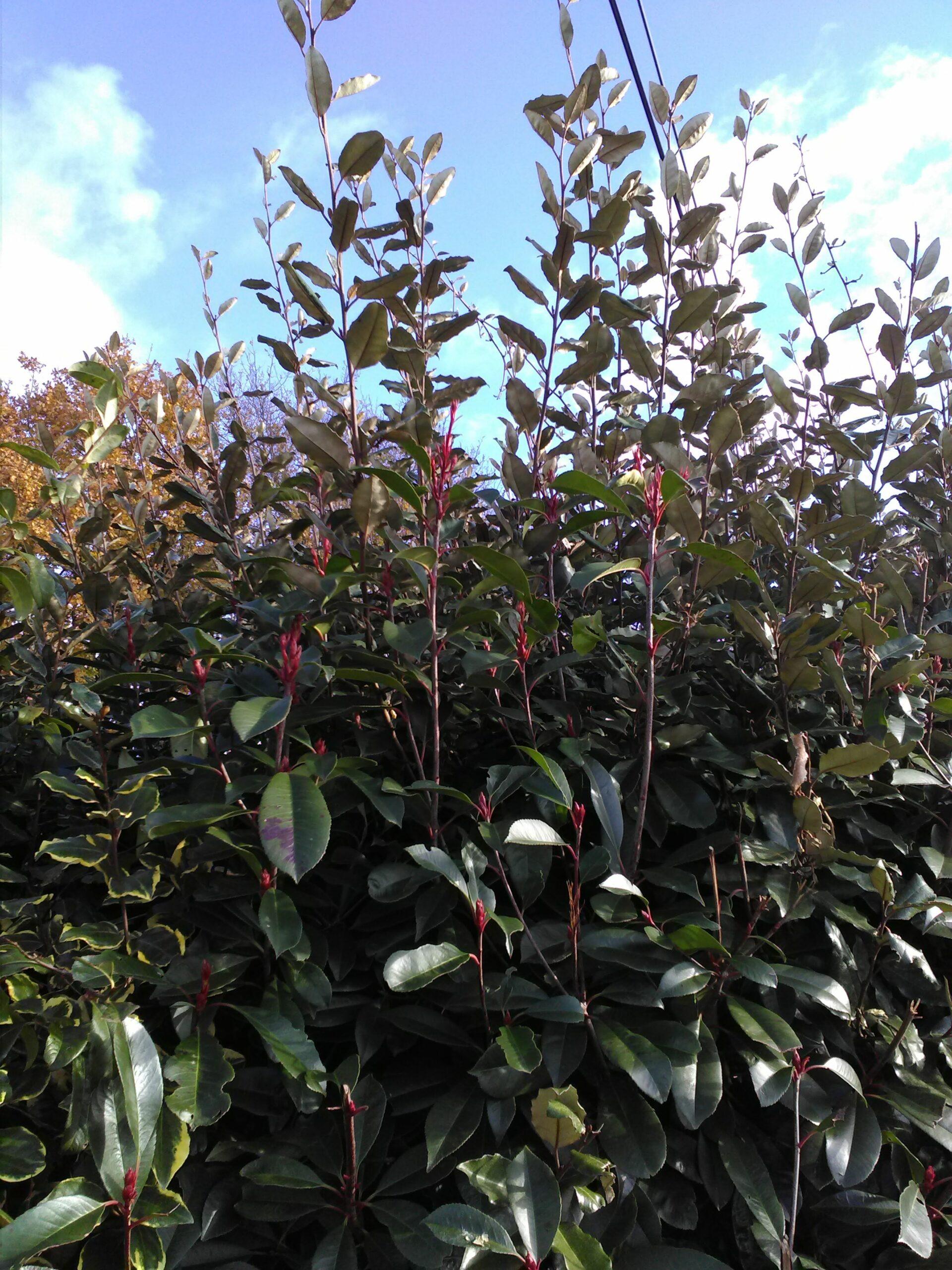 Fotinia : bourgeons et jeunes feuilles