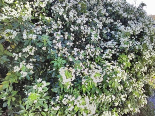 Fleurs d'oranger du Mexique
