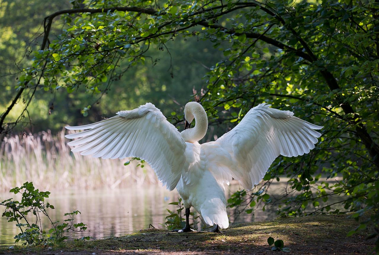 Cygne blanc, ailes déployées, prêt àà prendre un nouvel envol !